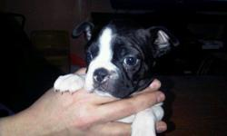 Have 3 male ckc boston terrier puppies. please call or email.