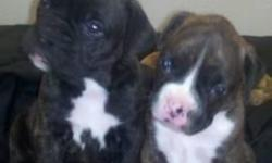 I have two Males Boxer puppies. Tails, Dew Claws, Shots, Wormed. Will be ready July 31st. Taking deposits now. They are very well socialized around kids and other dogs. Call or email me for more information ryanandjeannette1@yahoo.com 916-764-9208