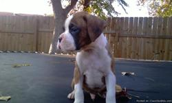I have 5 males left out of a litter of 10 all brindle with white markings.Puppies have tails done, dew-claw, dewormed and they got their first set of shots on 12/15/2010. Puppies are CKC registered and parents are on site. Please e-mail me for questions