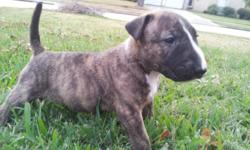 1 Adorable CKC Bull Terrier puppy left. Brindle/White. They were born on 10/28/12, and will be ready to go by 12/9/12. All of the puppies will be up to date on all shots, have CKC registration papers and baby photos for the new owners. They have been