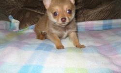 ckc chia - pom male chocolate tan sable 9 weeks old shots and wormings up to date health guarantee will be small if interested call 803-810-6367