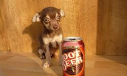 Coco Puff is a fine little male Chihuahua who was born 9/01/'10 and he is utd on his shots and wormings including kennel cough. He will weigh 4-5 lbs. as an adult. Coco Puff loves to play and to be held.