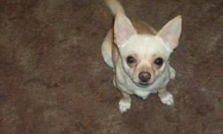 beautiful ckc cream color chihuahua male 4 lbs fo sale have to sale call me for info at 509-853-7420 or e-mail me at yorkies1948@hotmail.com