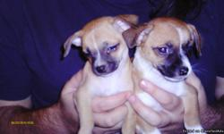 ckc chihuahua puppies 2 males raised in doors has been wormed had first shots 843 283 4859