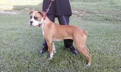 This beautiful CKC female boxer was born on 11-11-10 with a very loving attitude. She loves to play with children as well with other dogs. I know she will make a great loving family dog. She is ready to love you as much as you will love her. Unfortunaly,