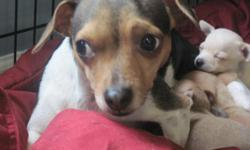 I have available a 2 year old tri color, floppy eared female chihuahua. She needs children to play with her. She loves to chase tennis balls and will do it all day long. She has had 2 litters of puppies and doesn't really like being a mother so I will