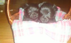 We have 2 lovely Scottie Puppies Forsale .They will be ready in time for XMAS. They Are CKC REG and have had their first shots and dewormings.They are BLACK/BRINDLE with a small dash of white on their chest. We are asking 500 EACH.Sorry we dont ship we