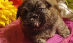 SWEET 14 WEEK OLD MALE SHIH TZU PUPPY WOULD MAKE A JOYFUL CHRISTMAS PRESENT.  VERY SWEET AND INTELLIGENT.  HE IS USED TO BEING INSIDE AND LOVES FOLLOWING YOU AROUND THE HOUSE AND PLAYING WITH OHTER PETS.  HE IS USED TO BEING AROUND CHILDREN