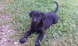Beautiful Black Labrador Puppies. Born April 20-2011. Will need their first sets of shots. They have been dewormed. Parents on site. Puppy papers available upon purchase! Only two left: one male and one female. Call if interested: BASI 254-368-4111.
