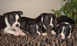 We have 2 adorable healthy Boston Terrier puppies left,  both males. They're CKC registered, born on September 10th they will have their first shots and will be dewormed before going to their forever home. Please contact me if you're interested in