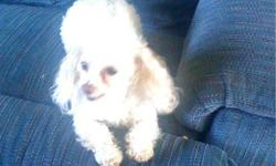 GIZMO IS A VERY SMALL TOY POODLE HE WEIGHS 4 1/2 TO 5 LBS AND IS 7.5 INCHES. HE HAS PRODUCED SOME VERY LITTLE PUPPIES. HE IS 2 YEARS OLD AND A VERY HANDSOME LITTLE GUY. HE DOES GRAWL AT OTHER DOGS BUT DOESN'T BITE. HE WOULD MAKE A GREAT STUD DOG OR A
