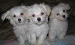 ckc malta-poo puppies 2 females $400.00 12 weeks old 10/08/2011 , 1 male $350.00 . 15 weeks old 10/08/2011 white /cream color up to date on shots and dewormings health guarantee, purina puppy kit,will be small.if interested call 803-810-6367