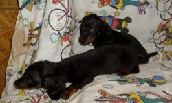CUTE CKC REG DACHSHUND PUPPIES, SWEET AND LOVING. FIRST SHOTS AND DEWORMED. 912-293-0607