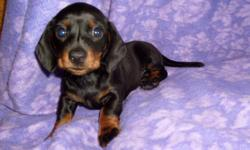 CKC REG. CUTE TINY BLACK AND TAN FEMALE DACHSHUND PUPPY. SHE WAS THE ONLY ONE IN THE LITTER. SHE HAS HAD FIRST SHOTS AND DEWORMED. 912-293-0607