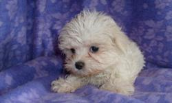 CKC REG CUTE AND TINY MALTESE AND YORKIE CROSS. HAS HAD FIRST SHOT AND DEWORMED. BEAUTIFUL WHITE COAT. 912-293-0607