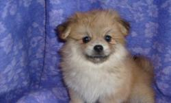 CKC REG PEKINGESE AND POM CROSS. SHE WAS THE ONLY ONE IN THE LITTER. SHE HAS HAD FIRST SHOT AND DEWORMED. SHE IS SO SWEET AND SPOILED. 912-293-0607