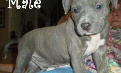 I have CKC pit bull puppies 1 blue male beautiful tiger stripe markings, 1 blue female dark blue with blue eyes , 1 fawn male and 1 fawn female i have mom and dad, dad is 115lbs beautiful strong blue and mom is a blue fawn , pups have been wormed and have