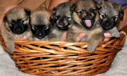 Gorgeous Sable Pomeranian Puppies for sale!  CKC registered.  Should weigh 5-7 lbs full grown.  Beautiful thick coats and pretty markings.  Raised inside the home.  Will be ready just in time for