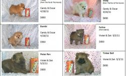 We have 3 litters of CKC Pomeranian Pups that will be ready for Forever Families starting at the end of June to the first part of July 2011. We have fox-, teddy bear & baby doll faced poms and a variety of colors. They are current on their shots &
