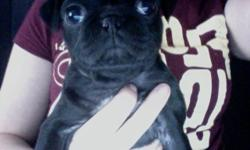 Ckc registered, black, female pug. She has her first set of shots. She comes with a cage, leash, collar, bowls, and some food. If you're interested please call, or text ( eight five zero nine three three three two six six ) There IS a re-homing fee.