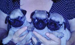 ckc pug pug puppies ready for christmas 843-283-4859