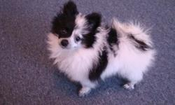 This is the most Adorable puppy on the planet, and he needs a home full of love. This is a Ckc, Pomeranian, for sale, 4 months old, date of birth 9/29/10. Male, black and white, very unique colored puppy and rare for a pom. He has a great smile, hes about