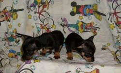 cute, tiny black & tan puppies. Have had first shots and dewormed. Must sell! 912-293-0607