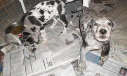 2 Adorable CKC reg great dane puppies.1 black male and 1 black female left .dew claws removed.wormed reg shots will be up to date.Raised in my home with lots of love and attention.Born on 12/12/12 will be ready at 8 weeks on 2/6/13