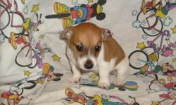 SHORT AND STOCKY RED & WHITE FEMALE. HAS HAD FIRST SHOT AND DEWORMED. CUTE AND SWEET!