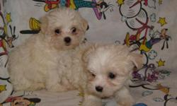 CUTE, FLUFFY WHITE MALTESE POODLE CROSS. FIRST SHOTS AND DEWORMED. CALL FOR PICTURES 912-293-0607