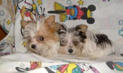 TINY CUTE YORKIE/MALTESE CROSS PUPPIES ALL COLORS, FIRST SHOTS AND DEWORMED. CALL FOR PICTURES 1-912-293-0607