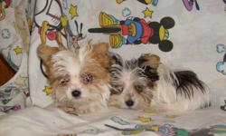 TINY CUTE YORKIE/MALTESE CROSS PUPPIES, ALL COLORS. HAVE HAD FIRST SHOT AND DEWORMED. ALL COLORS. CALL FOR PICTURES 1-912-293-0607