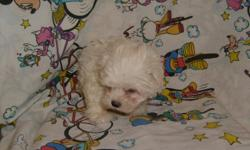CUTE, FLUFFY NON-SHEDDING PUPPY. JUST PRECIOUS! HAS HAD FIRST SHOT AND DEWORMED. MALTESE AND YORKIE MIX. 912-293-0607