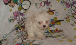 CUTE, FLUFFY, PRECIOUS PUPPY. NON-SHEDDING AND BEAUTIFUL. HAS HAD FIRST SHOT AND DEWORMED. MALTESE AND YORKIE MIX. 912-293-0607