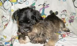 CKC REG. CUTE, FLUFFY NON-SHEDDING MINI SCHNAUZER PUPPIES. SALT & PEPPER BLACK & SILVER IN COLOR. FIRST SHOTS AND DEWORMED. 912-293-0607