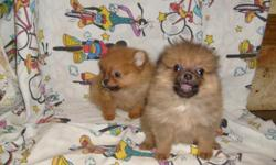TINY CUTE FLUFFY POM PUPPIES. FIRST SHOTS AND DEWORMED. PLEASE CALL FOR PICTURES 912-293-0607