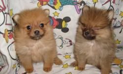 CUTE FLUFFY TINY POM PUPPIES FIRST SHOTS AND DEWORMED. PLEASE CALL FOR PICTURES. 912-293-0607