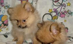 REG. CUTE AND FLUFFY POM PUPPIES. FIRST SHOTS AND DEWORMRD. JUST PRECIOUS. LIGHT ORANGE IN COLOR. NEED GOOD HOMES.