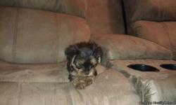 i have a male and female yorkie puppy. they are very small they will weigh around 4 pounds grown. they are starting to use puppy pads. they are very sweet and playfull. 832-470-2910