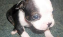 CKC Registered Boston Terrier Puppies. Born 10/17/12, ready for new homes 11/29/12. 3 females, 2 males. Dam on site. Up to date on shots and dewormed. $300 Cash Call (812)473-0202 No emails, No texts!