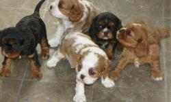 CKC Registered Cavalier King Charles Spaniel Puppies. Born October 15, 2012. First shots and wormed. Parentrs on premises. Black & Tan and Blenheim.