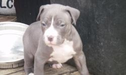 sire-razors edge x gator.dam- o.f.red nose x razors edge/colby.1 blue w/white markings,i red w/blue brindling.both handsome little guys.papered,1st shots and dewormed.