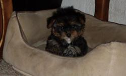 For sale, 2 female yorkie puppies born on 08/20/2010, utd on shots and wormed going to be small, if interested call 618-372-4877