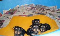I have 4 very small girls for sale. Born 11/6/12. And ready for thier new homes now. Tails docked, dew claws removed, Vet checked, 1st shots and worming done.  Mom 6-7 lbs, Dad 4-lbs. Both are on site. Home rasied, with lots of love. For more