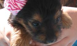 CKC registered Yorkie puppies, up to date on shots, wormed, tails docked, these puppies are non shedding and make wonderful pets for adults and children. Kathy -- or Joey --