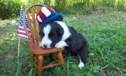 """READY NEXT WEEK. THE PARENTS ARE OUR ROSIE AND BLAZE. ROSIE IS A SMALL 13 1/2"""" SHELTIE. SHE IS VERY LOVING AND SMART. BLAZE IS 16"""" AND HAS CHAMPION BLOODLINES. PUPPIES ARE UP TO DATE ON SHOTS, WORMING AND DEW CLAWS REMOVED, A 72 HOUR HEALTH GAURANTEE."""