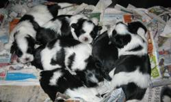 Shih-tzu puppies for sell 300.00 each, three girl and three boys Born Oct. 23-2012 they will be ready to go home with new owners on Dec.8 just in time Xmas.They will be Vet check and first shots, worming and heart pill and a bag food. call