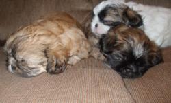 3 female CKC reg shih-tzu puppies born 12/22/10 leave 2/17/11 1 gold $400 1 brindle $400 1 brindle and white $450 E-mail jennio045@aol.com