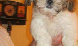 CKC Male Shih Tzu puppy. 12 weeks old born on April 17, 2011. Has had 2nd shots and is raised inside our home as part of our family. He very lovable and playful with our kids. This cute little guy is our last puppy left. 256-975-5082