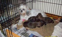 CKC Registered, with Pappers, you will receive, Heath records, and a puppy package. These puppys are 9 weeks old, Non Shedding and Allegry - Friendly. These pups are SO cute! Mom is 8# Shih-tzu, and Dad is 5#- 6# Yorkie. They will be small. They all are